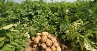 В Белоруссии начнут выращивать ГМО-картофель