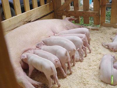 """""""Русагро"""" инвестирует в тамбовских свиней"""