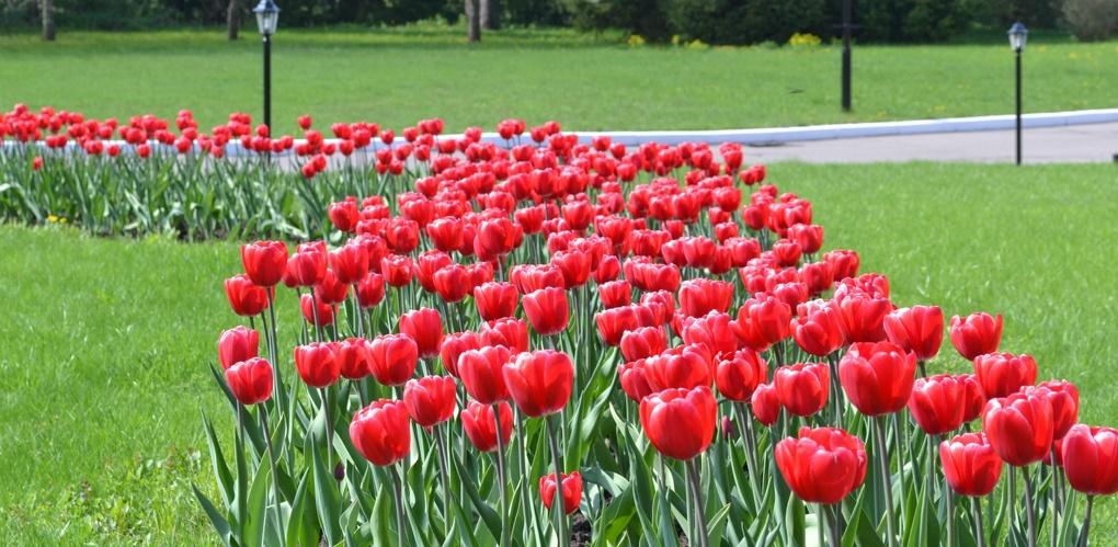 На городских клумбах высадили около 250 тысяч луковиц тюльпанов