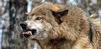 В Тамбовской области у волка зарегистрировали бешенство