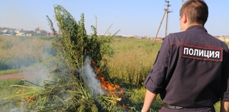 Полицейские уничтожили 75 очагов дикорастущей конопли