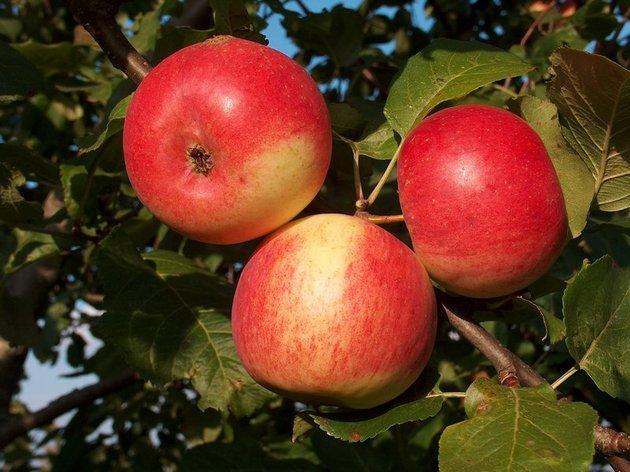 Зеленым символом Тамбовской области стала яблоня