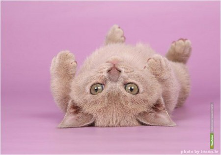 Тамбовчанам покажут редкие виды кошек