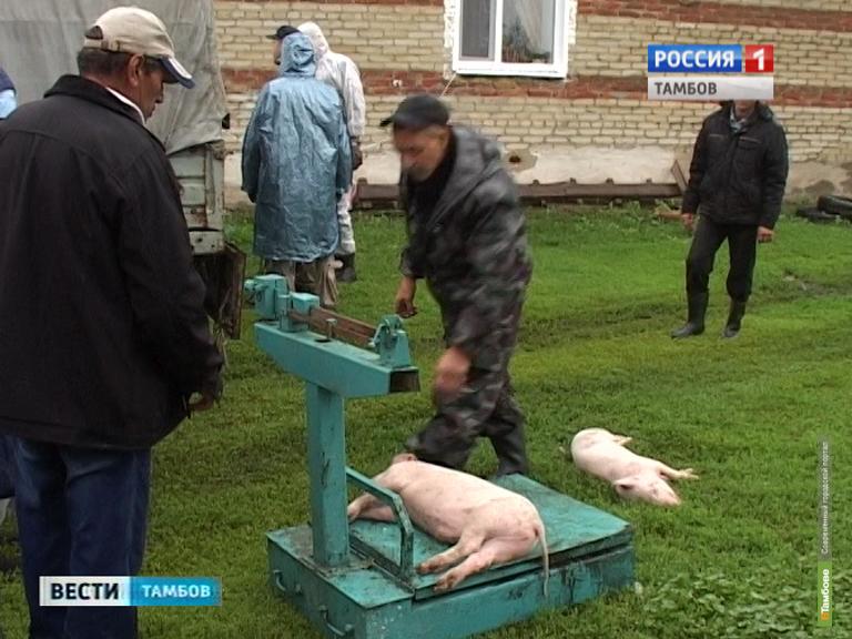 Тамбовские власти выкупают у фермеров свиней