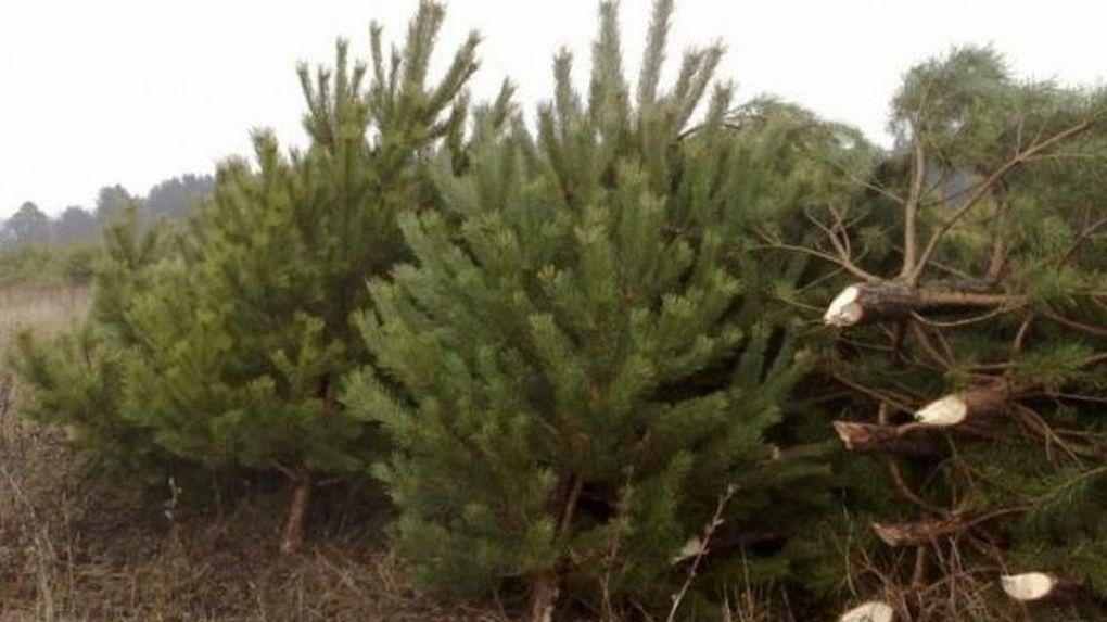 Откуда тамбовские лесхозы берут елки для Нового года?