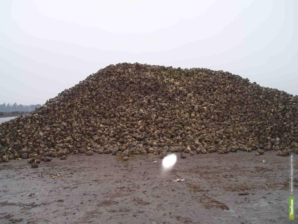 Богатый урожай сахсвеклы может влететь тамбовчанам в копеечку