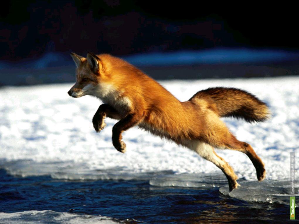 Бешеные лисы бегают по тамбовским сёлам