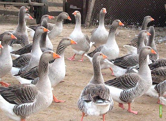 Гендиректор «Арженки» опроверг сообщения о голодоморе породистых гусей