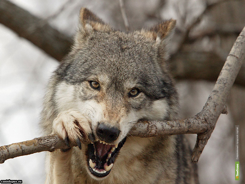 На Тамбовщине открыли сезон охоты на волка