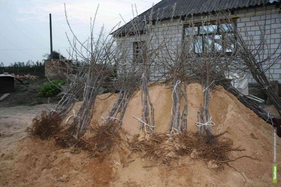 Предприимчивый тамбовчанин за ночь выкопал 240 саженцев