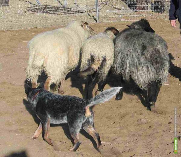 Под Тамбовом сторожевая собака «похитила» овец