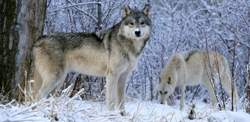 Скандал с брендом «Тамбовский волк» стал самым важным делом антимонопольной службы