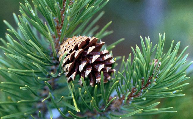 Тамбовские лесоводы заготовили более 80 тонн сосновых шишек