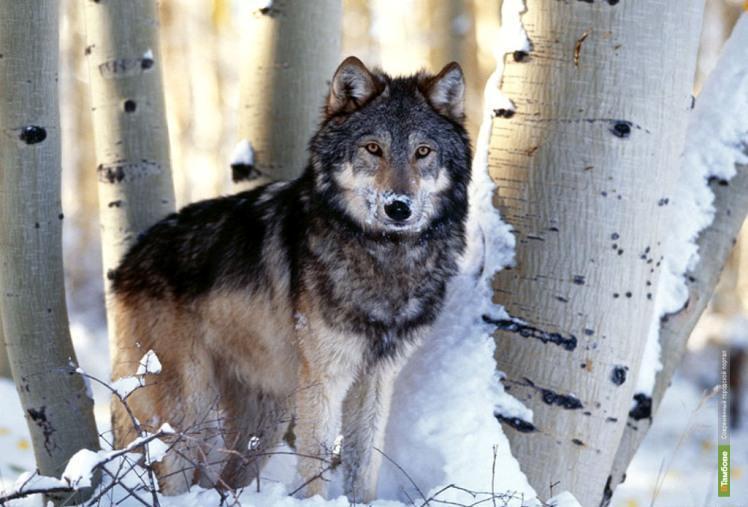 Последний тамбовский волк скрывается от чиновников