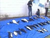 На пляжах Бразилии обнаружены сотни мертвых пингвинов
