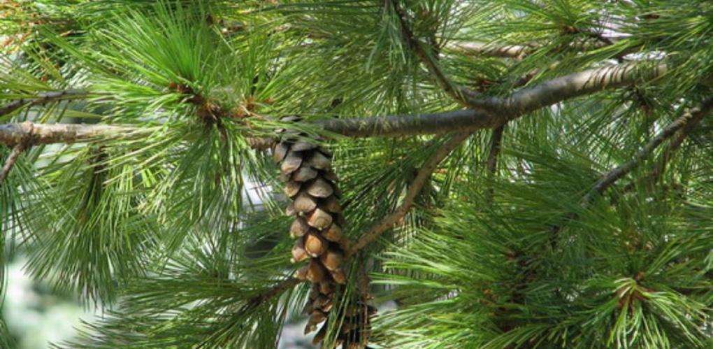 Уникальные деревья Тамбовщины могут получить статус памятника живой природы