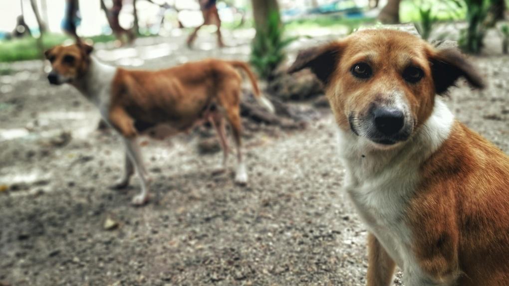 Следователи проверят, почему администрация Мичуринска не реагирует на жалобы о нападении собак