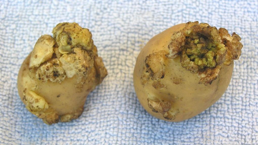 Как АЧС, только у картошки. На территории Тамбовской области выявлен рак картофеля