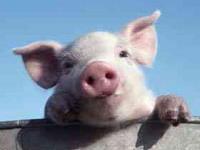 Тамбовским свиньям грозит африканская чума