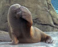Британец ищет в соседи домашнего моржа