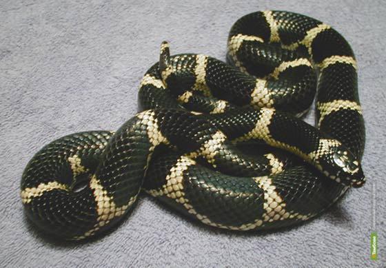По Тамбову ползала экзотическая змея