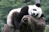 Самый дорогой чай в мире создан из экскрементов панды