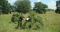 В Тамбовской области начинается усиленная борьба с наркотиками растительного происхождения