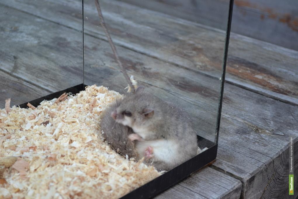 В державинском зоопарке поселился третий соня-полчок