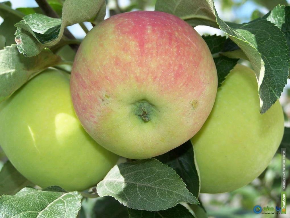 Липчане пытались утащить из тамбовского сада 50 килограммов яблок