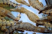 В реку Лимпопо нырнули 15 тысяч крокодилов