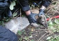 Чешские полицейские задержали кенгуру за кражу в магазине
