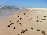 С пляжей Литвы убирают 80 тонн дохлых майских жуков