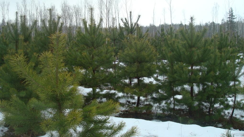 Ёлки под охраной! В преддверии Нового года лесоводы взяли контроль за незаконной вырубкой