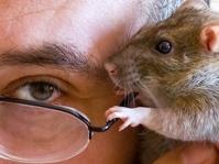 В Израиле создали крысу с электронными мозгами