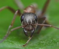Американский ученый на досуге открыл новый вид муравья