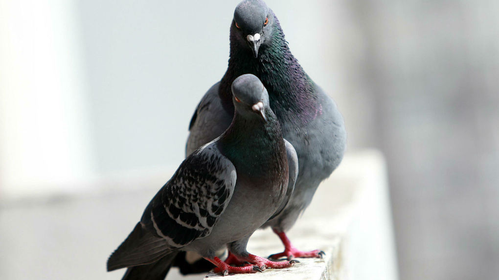 Теперь жители Мичуринска хотят устранить уличных голубей