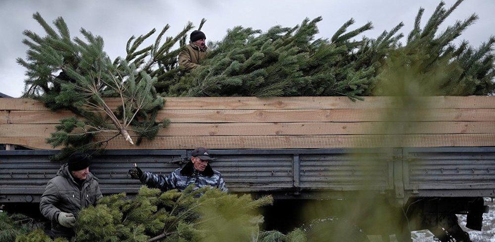В регионе приготовят на продажу около 30 тысяч новогодних деревьев