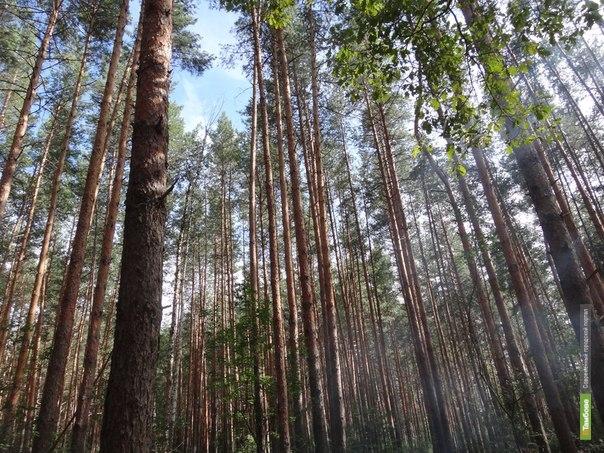 В Притамбовье «черные лесорубы» срубили 47 вековых сосен