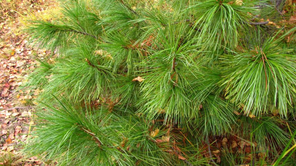 Область хочет развивать кедровое ореховодство – у нас посадили настоящую сибирскую сосну