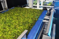 Ученые из США за час добыли нефть из водорослей