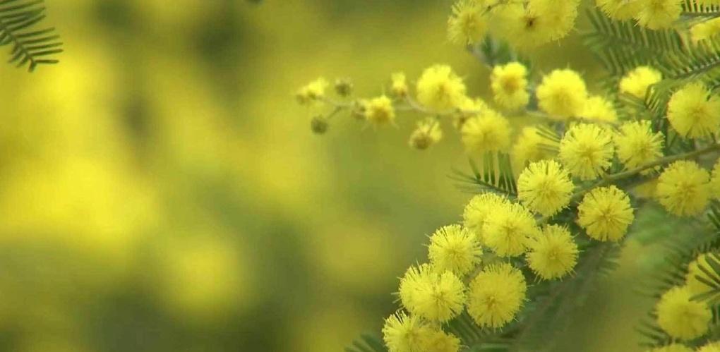 В список запрещённых веществ в РФ попала мимоза