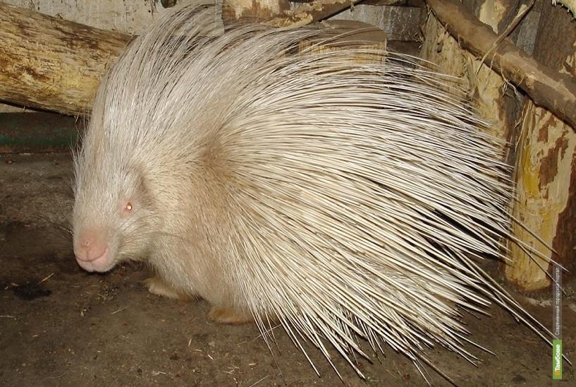 В державинском зоосаде поселился дикобраз-альбинос