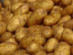 На Тамбовщине будут собирать урожай картофеля дважды в год